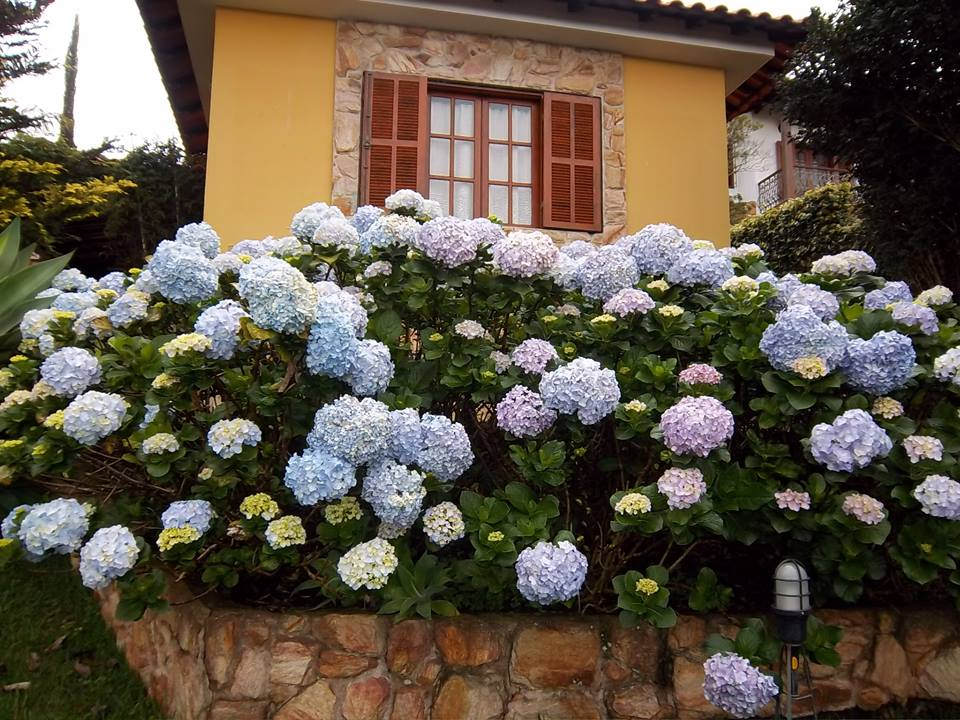 hortensia-casa-da-cris-canteiro-casa